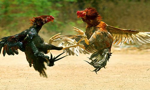 S128 Sabung Ayam Online Resmi Indonesia